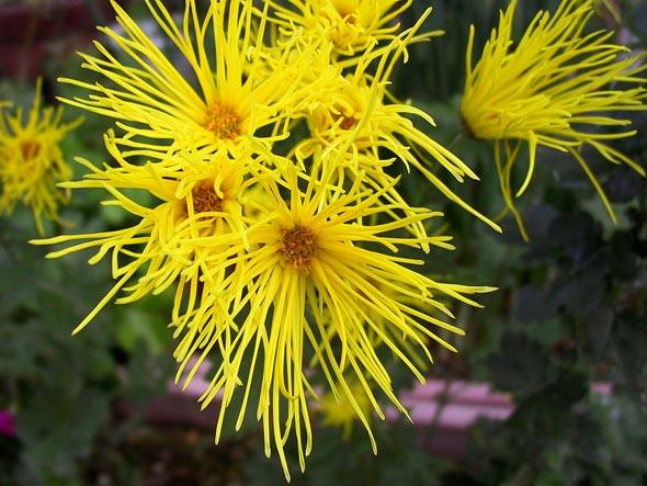 выращивание хризантем