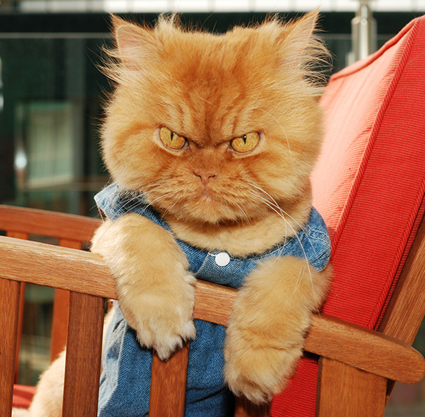 garfi-evil-grumpy-persian-cat-12