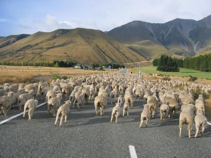 В стране, где население составляет примерно 4,4 миллиона человек, существует около 30 миллионов овец.