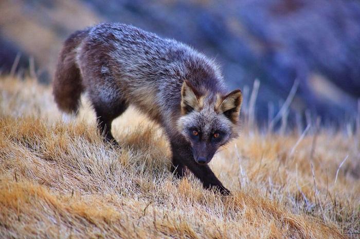Лисица отличается от рыжей только тем, что в ее окрасе совершенно нет рыжих волосков.
