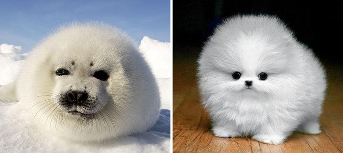 Милый Гренландский тюлень и щеночек.
