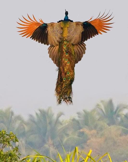 Необыкновенное фото - полет павлина