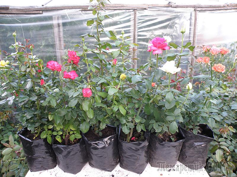 Все о выращивание рассады цветов для продажи 484