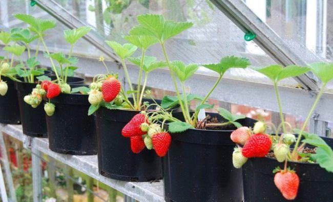 Как выращивать клубника в домашних условиях 13