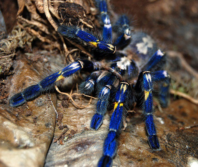 Blue Tarantula blindness, animal world, creatures of our planet, facts