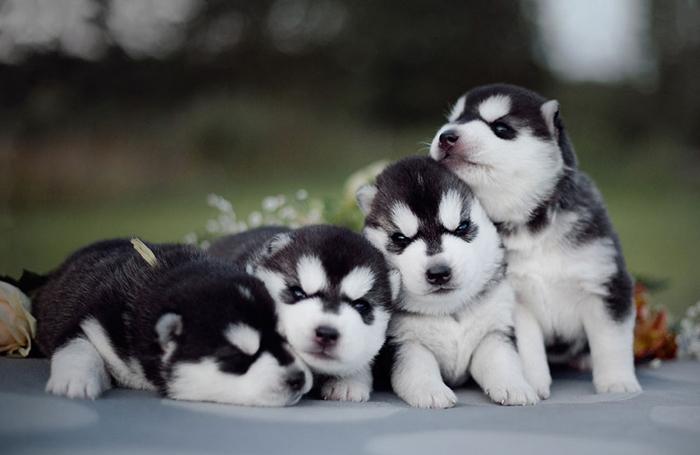 Четыре черно-белых щенка сибирских хаски. Фото: Erica Tcogoeva.