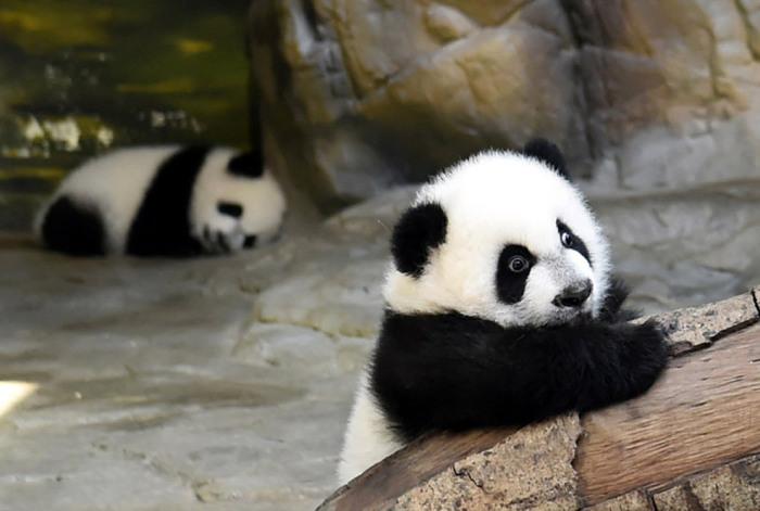 Единственные в мире тройняшки-панды, провинция Гуандун, Китай. Фотограф Feature China.