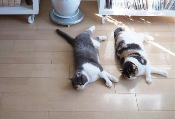 Команды синхронных котов животные, коты, прикол, синхронные коты