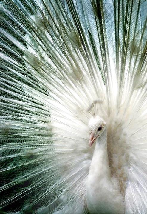 Красивые птицы павлины. Белый. Фото