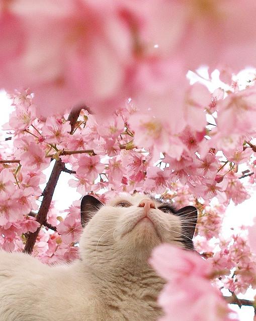 Кот в цветах сакуры. Фото