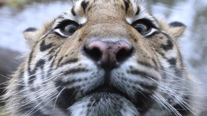 Тигру удалось самому сфотографировать себя...