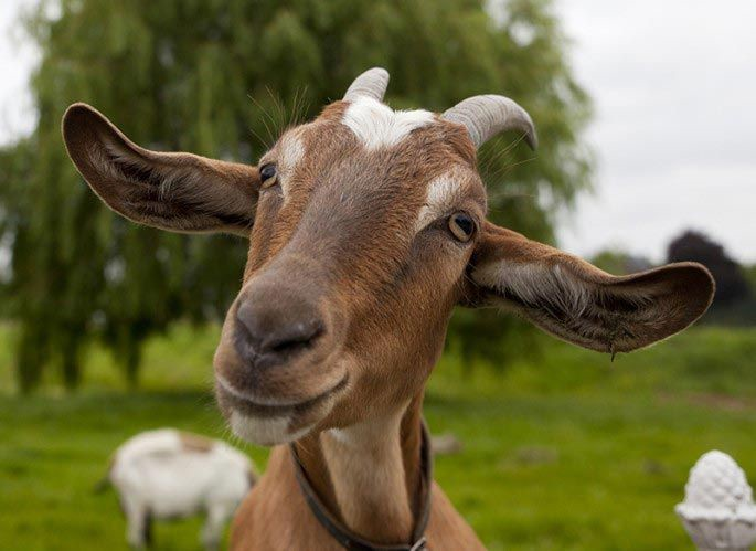 Коза Мэнди добро, животные, спасение