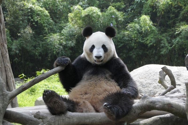 Panda sitting front view