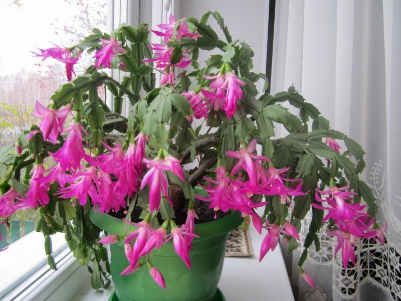 Уход за комнатными растениями декабристом в домашних условиях