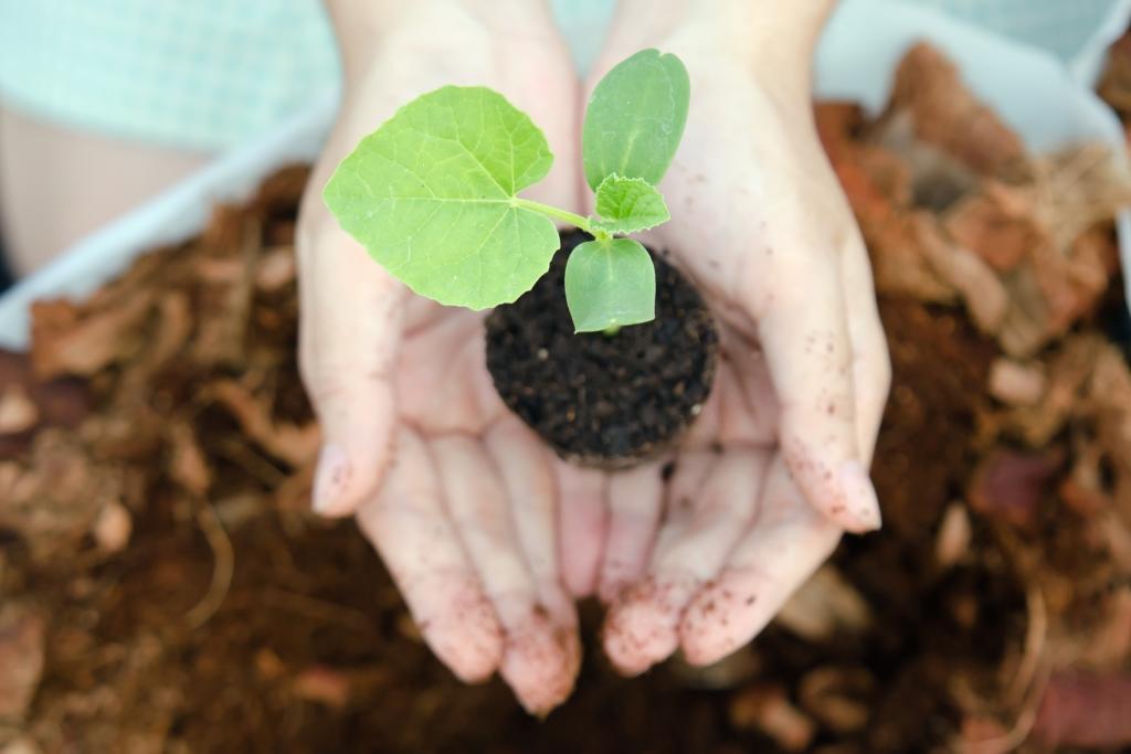 Как высаживать рассаду дыни в грунт 841