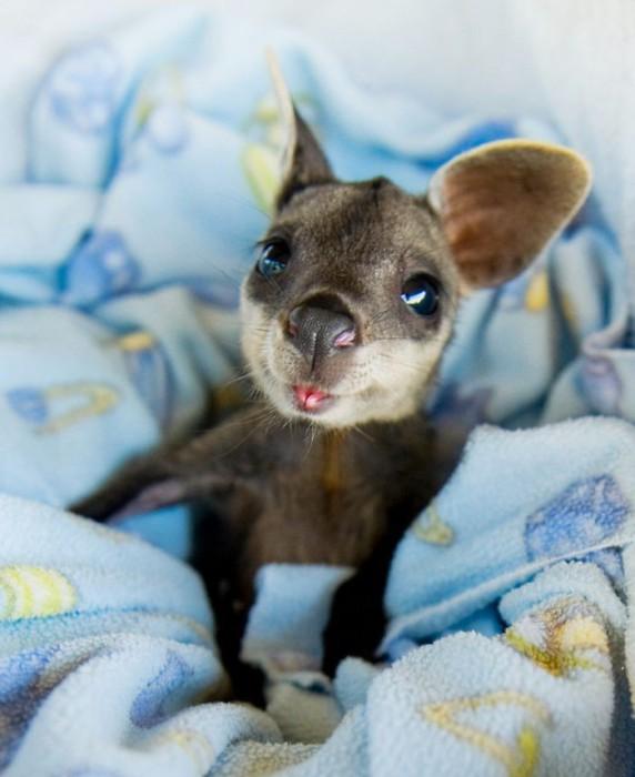 Маленький австралийский сумчатый прыгун «кенгуру».