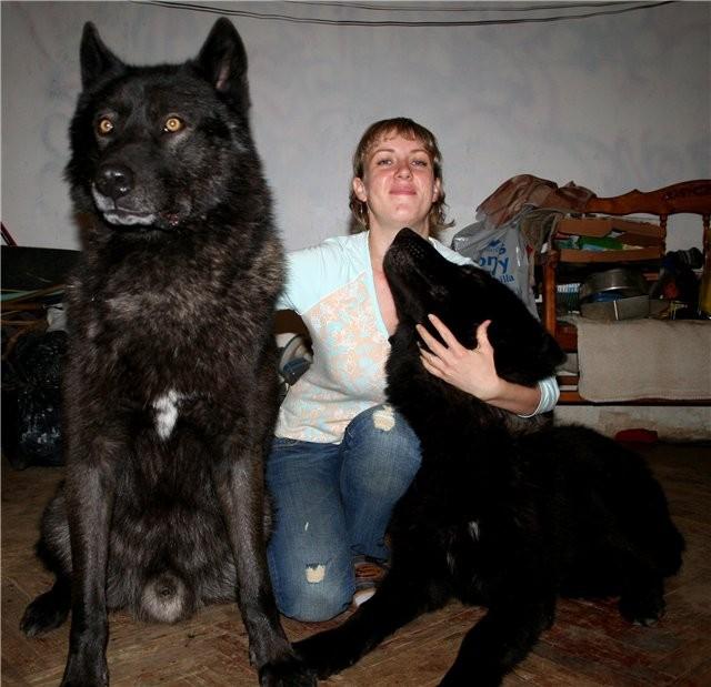 2. Вольфхунд (русский) волк, животные, коты, породы, собаки