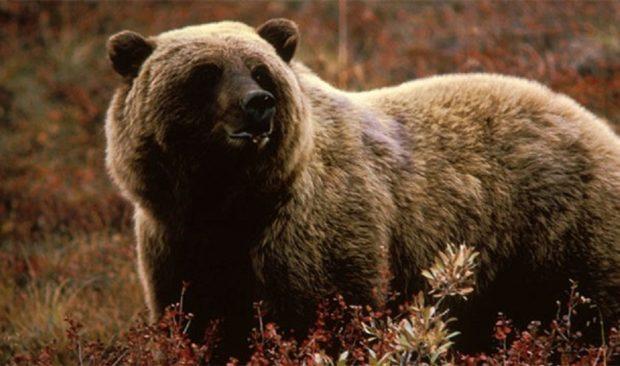 Аляскинский гризли