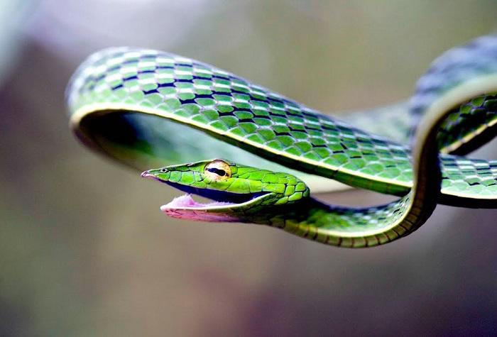 Одна из самых красивых змей на Земле.