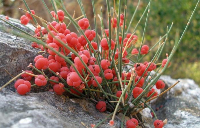 Растение эфедра.