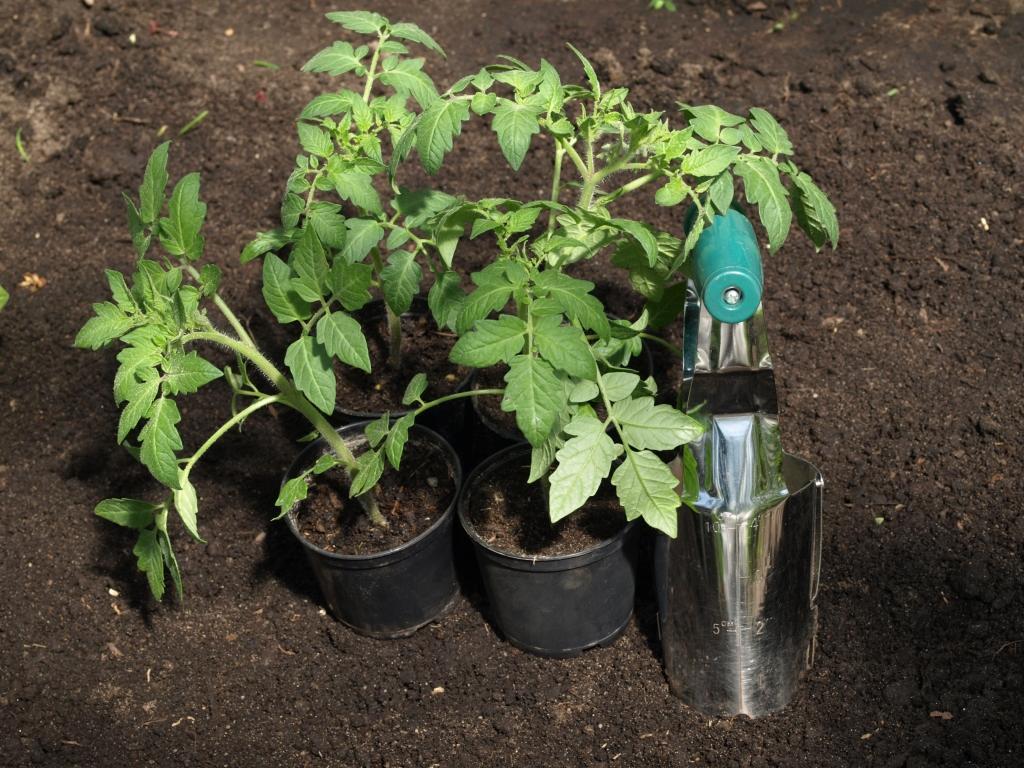 Когда сажать в теплицу рассаду помидоров 31