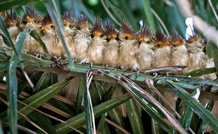 Необычные птицы ютятся вместе, чтобы согреться.