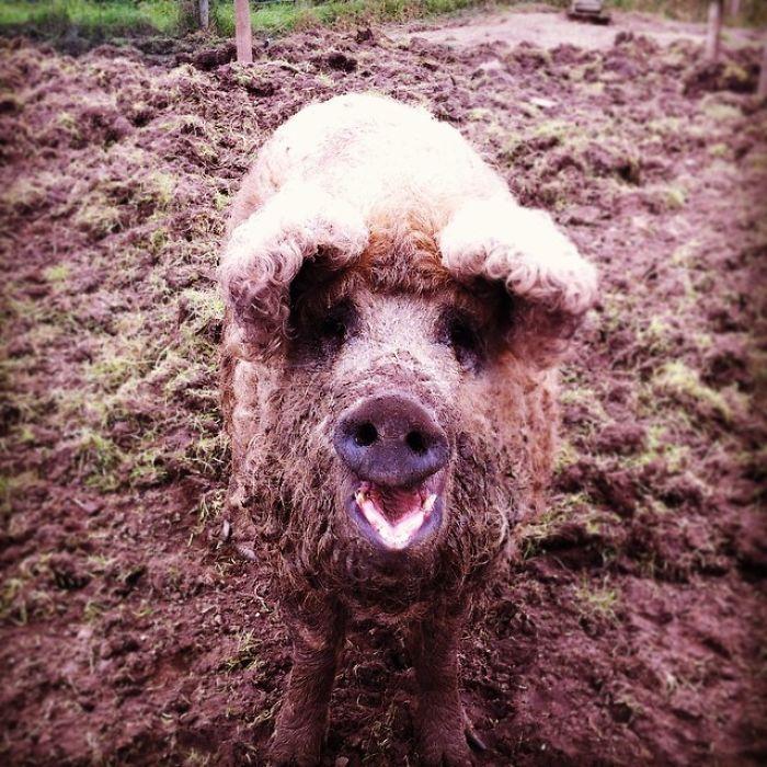 Наличие такого густого волосяного покрова помогает животным легко переносить морозы.