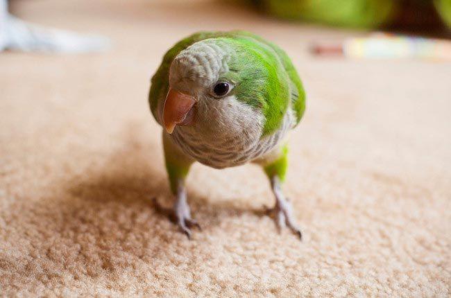 Попугай Вилли добро, животные, спасение