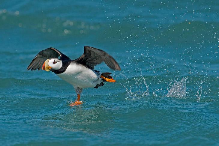������ ������� Audubon Photography Awards 2015