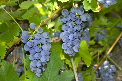 Виноград Лабруска (Vitis labrusca)