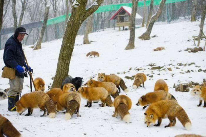 Настоящее лисье царство в парке Zao Fox Village.