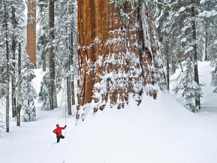 Второе по величине дерево в мире.