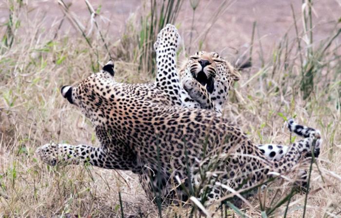 Мать и ее котенок-леопард играют в Национальном парке Крюгера в Южной Африке. Фотограф Great Stock.