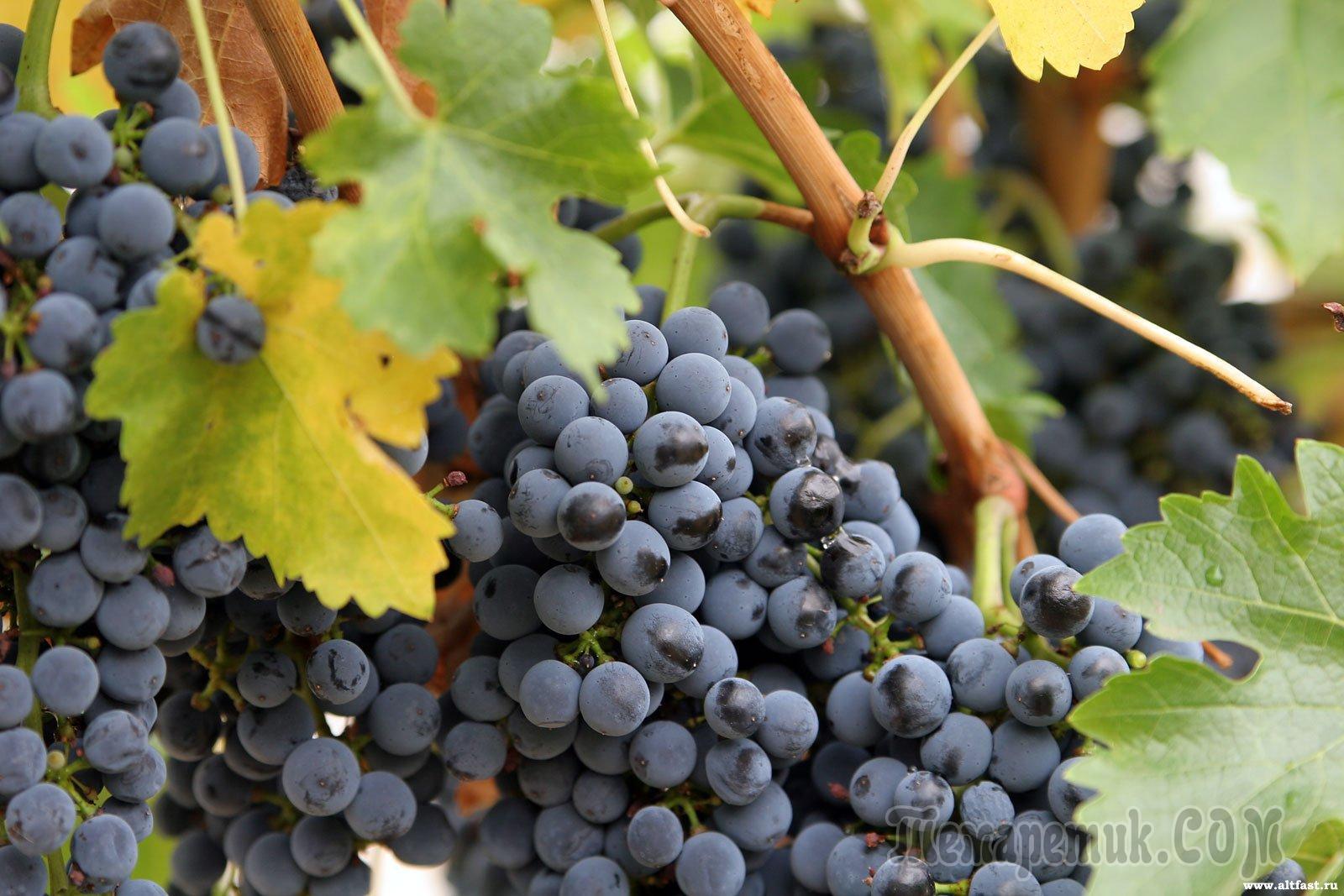 Сорт винограда сиреневый туман отзывы описание