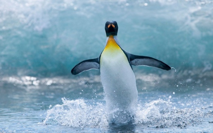 Пингвин наслаждается купанием.