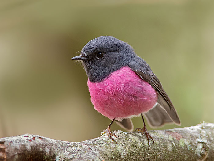 Robin with a pink breast blindness, animal world, creatures of our planet, facts