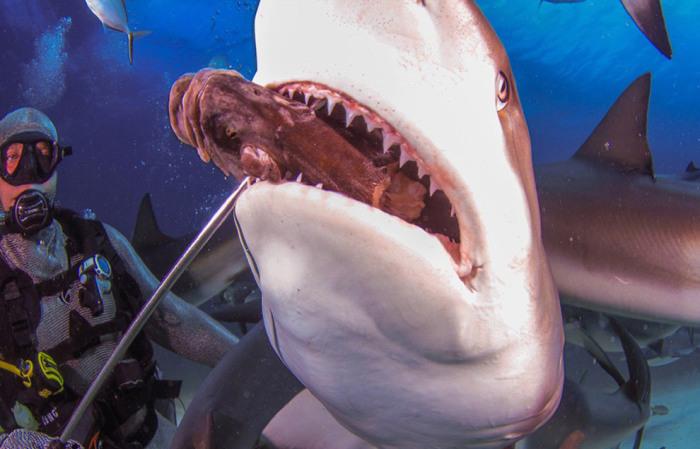 Дайвер в кольчуге, чтобы акула не поранила зубами. Фотограф Jan Morton.
