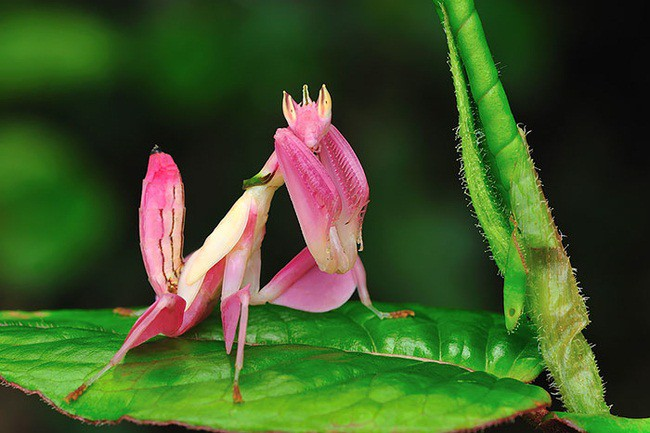 Pink Color Blindness mantis, animal, world, creatures of our planet, facts