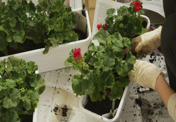Как правильно посадить герань в домашних условиях - ФоксТел-Юг