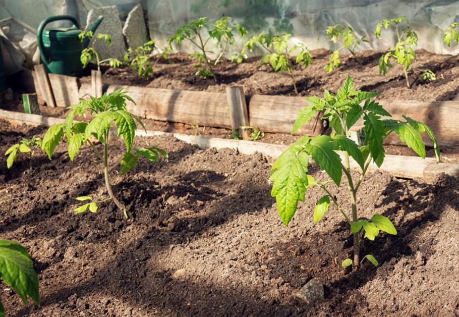 Когда сажать в теплицу рассаду помидоров 73