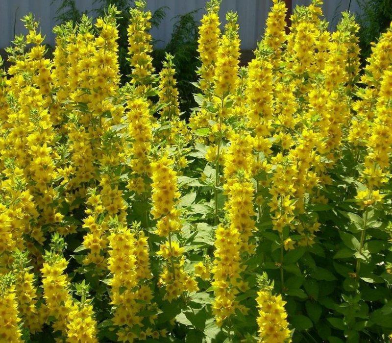 Желтые многолетние цветы с