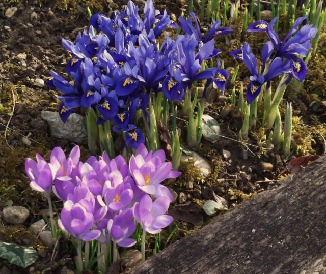 Группа ранневесенних луковичных цветов
