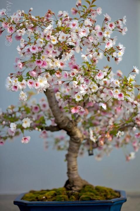 Искусство бонсай. Красивое дерево. Фото