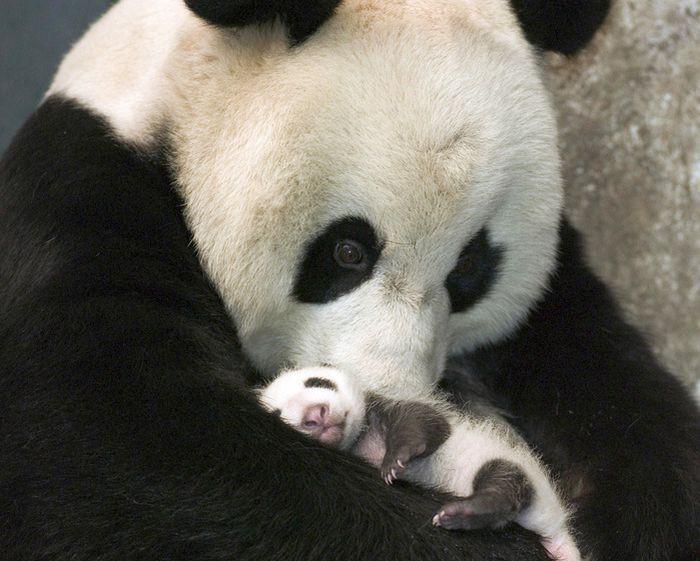 Мама-панда укачивает своего малыша.