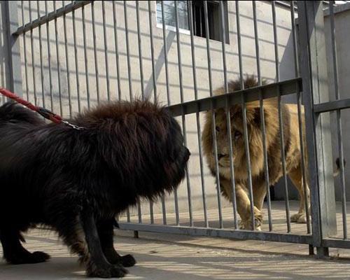 4. Тибетский мастиф волк, животные, коты, породы, собаки