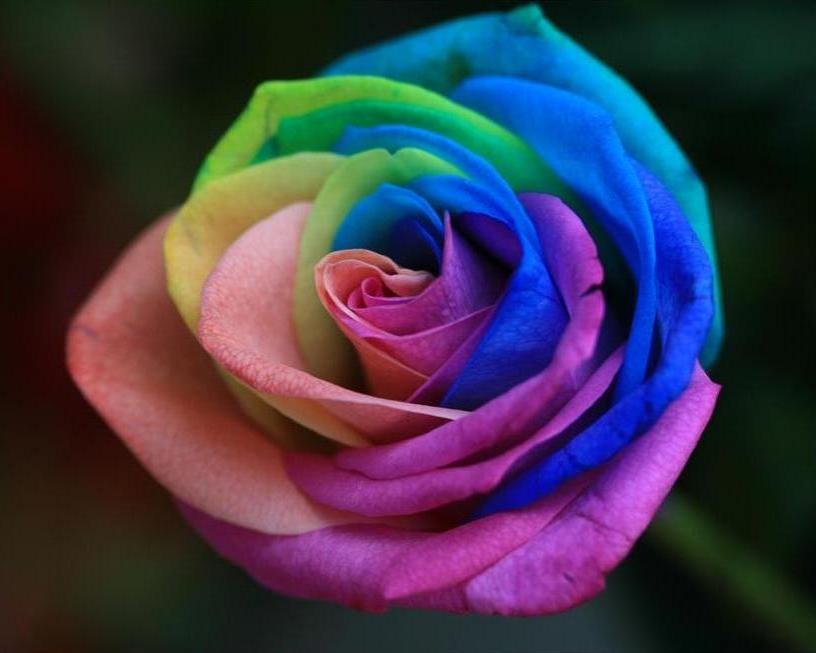 Сорт плетущихся роз