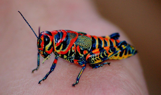 Colorful cricket blindness, animal world, creatures of our planet, facts