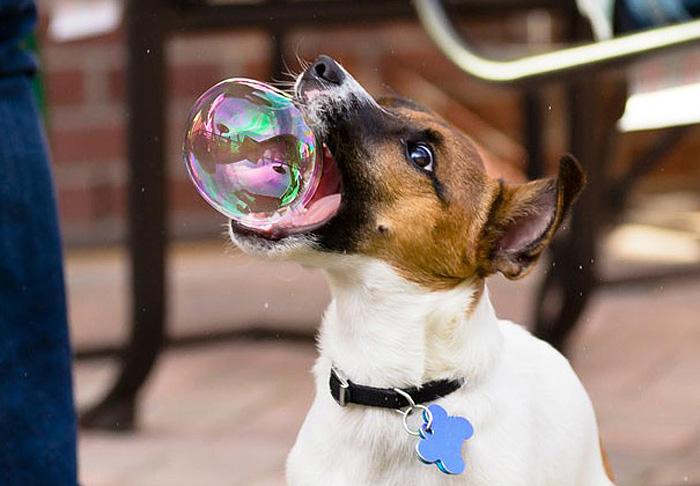 Джек-рассел и мыльный пузырь.
