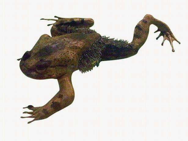 Волосатая лягушка. Выпускает когти животные, рекорды, удивительно, факты