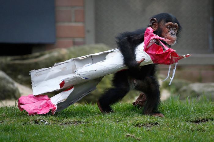 13-месячный шимпанзе из зоопарка Сиднея. Фотограф Jason Reed.